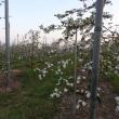 リンゴ(林檎)の花