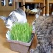 なかよく猫草【動画】