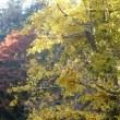比企の丘・・・巌殿観音・・・大銀杏は・・・いま黄金の絨毯・・・