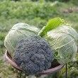 でっかくなった、野菜の収穫です