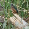 「野鳥撮影に帯広川へ-翡翠-」について考える