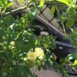 黄モッコウバラ咲きました
