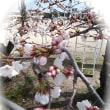 楽しい園芸 桜の開花