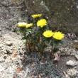 春のおとずれ福寿草