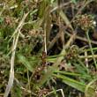 クロタマガヤツリ