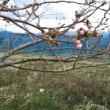 桜が咲き始めたよ