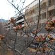 色もくっきり つぼみ膨らむ 桜