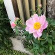 禁煙2908日目 「自宅の花」