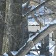 エゾリス雪の朝