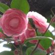 冬薔薇の憂い