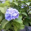 ☆ 広尾一丁目 小森谷(こもりや)畳店の 可愛いい紫陽花 ☆