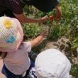 トマト収穫とクッキング