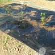 スナップエンドウ苗の定植