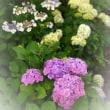 紫 陽 花