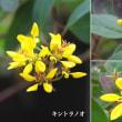 金虎の尾の花は