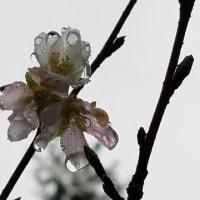 シキザクラ妹 雨に濡れて10.19