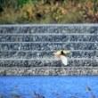 今朝のお池のサプライズ・・・・サンカノゴイ・チュウヒ