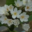 温室の花:プルメリア