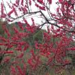 桜の前    桜はまだ硬いつぼみ  緋桃と白木蓮