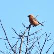 バードウォッチング・・・オオマシコ?、ベニマシコ、イスカ ☆赤い鳥を探して・・・