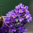 ドイツ: 蝶はどこへ行った