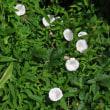 野に咲く草花だって中々の存在感!・・・トキワツユクサ ムラサキカタバミ ネジバナ 等