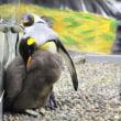 キングペンギンお家の事情7