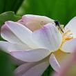 ハス花と昆虫