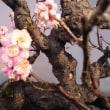 長浜の盆梅展
