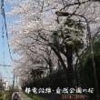 区役所公園・枝垂れ桜 平成30年3月28日(水)