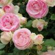 バラ公園のバラの花 (後編)