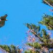一期一会・・・鳥撮りの記  237 クマタカ