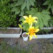 カンナ美容室の裏庭に黄色の百合が咲きました(´∀`*)