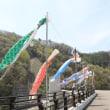 浅川ダム こいのぼりが泳ぎ始めました