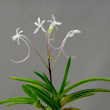 富貴蘭 夢牡丹の花