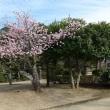 3月13日(火曜日)「道後の桜」(チーシさん)