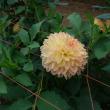 両神山麓 花の郷 ダリア園 (2)