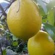 お庭のレモン^^