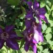 ◎咲いてきたエミリア・プラタ-&買ったブルーのクレマチス