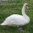 手賀沼に住み着いた白鳥