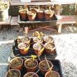 さし木苗の定植