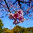 米子市内で2番目に咲く桜