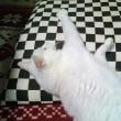 9月8日(土)のつぶやき 白猫ミルコ 座布団を占領された(笑) ボリビアのタリハからLINE電話 早朝会議終了、ふぅ…。