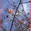 初桜 お散歩道で エクササイ♪