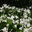 勧修寺に咲く花