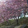 ソメイヨシノは散ってしまったけど今度は八重桜が綺麗です
