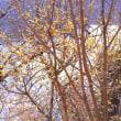 水辺の蝋梅(ロウバイ)、桐生川ダム湖、2019年1月