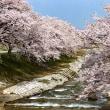 内山邸ライトアップと舟川の桜(富山) ■2018_4_8