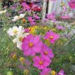 庭にコスモスが咲いて・・・さて 厚着して卓球練習に向かいます!