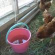 平飼い養鶏 飲み水はどうするの?